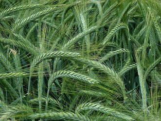 Семена озимого тритикале Славетне