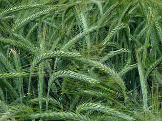 Семена озимого тритикале Гарне