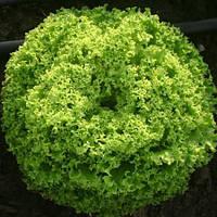 Семена салата Локарно (1000 сем.)