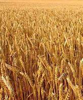 Пшеница озимая Мудрость Одесская (элита)