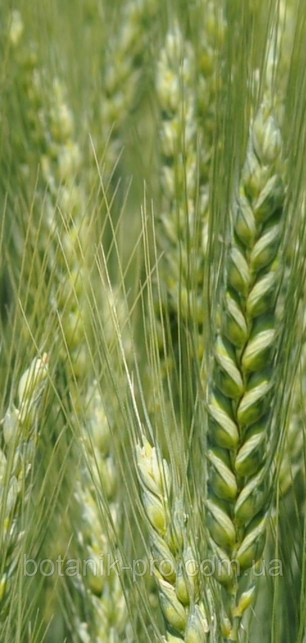 Семена озимой пшеницы Подолянка (элита) безостая