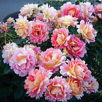 Роза Роз де Цистерсьен