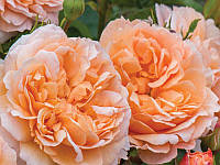 Роза английская Леди Гарденер