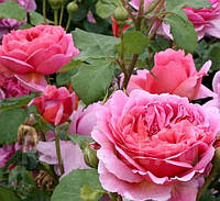 Роза английская Принцесса Александра