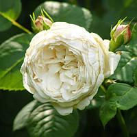 Роза английская Файер Бьянка