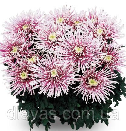 Хризантема горечная крупноцветковая Чусан