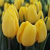 Тюльпан Strong Gold 12+