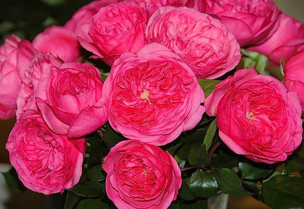 Роза флорибунда Баронесса