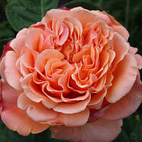 Роза чайно гибридная Этруска