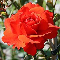 Роза чайно-гибридная Кордес Брилиант
