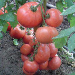 Насіння томату Эсмира F1 (100 сем.) Rijk Zwaan