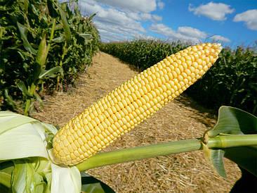 Семена кукурузы Максима (ФАО 580), Венгрия. Силосный тип до 62 т/га