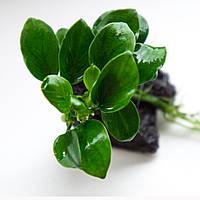 Анубиас Петит / Anubias barteri var. nana Petite, отросток 4 листа.