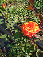 Роза эфиро-масличная (саженцы)