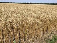 Озимая пшеница Шестопаловка, семена (1-я репродукция)