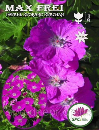 Герань садовая Max Frei, фото 2