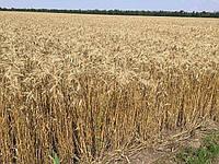 Озимая пшеница Шестопаловка семена (элита) урожай 2019 года