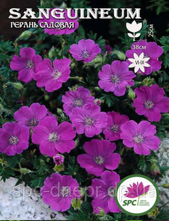 Герань садовая Sanguineum, фото 2