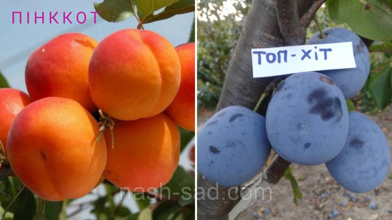 Саженец абрикоса Пинккот(Франция) + слива Топ Хит(Германия)