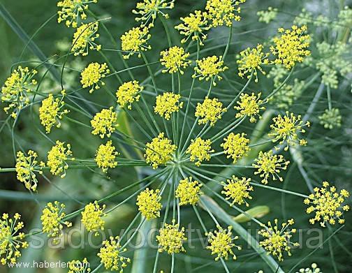цветы фенхеля