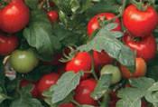 Семена томата Силует F1 500 семян Syngenta