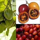 Саженцы тамарилло или томатное дерево (Solanum betaceum), фото 4
