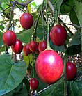 Саженцы тамарилло или томатное дерево (Solanum betaceum), фото 3