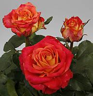 Роза ч/г Лина