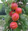 Саженец абрикоса Приция (Pricia)