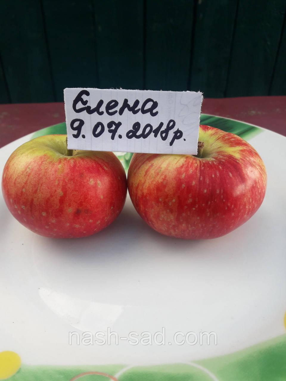 Саженцы яблони Елена (Белоруссия)