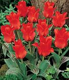 Тюльпан низькорослий Roodkapje, фото 6