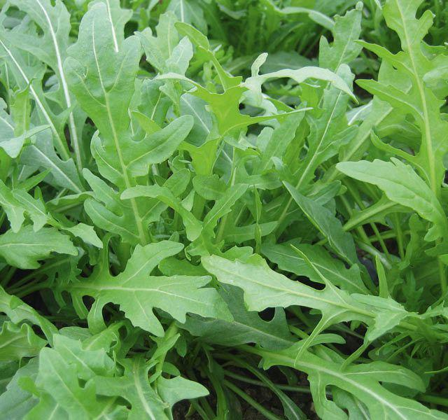 Семена рукколы Триция (100 000 сем.)
