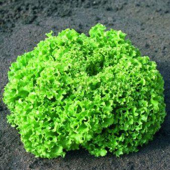 Семена салата Эстороза (5 г)