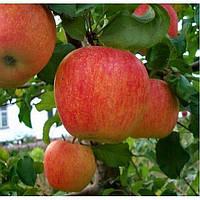 Саженцы яблони ПИНОВА (двухлетние) зимнего срока созревания