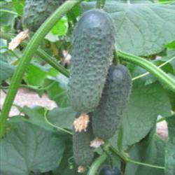 Семена огурца Акилина F1 (500 сем.)