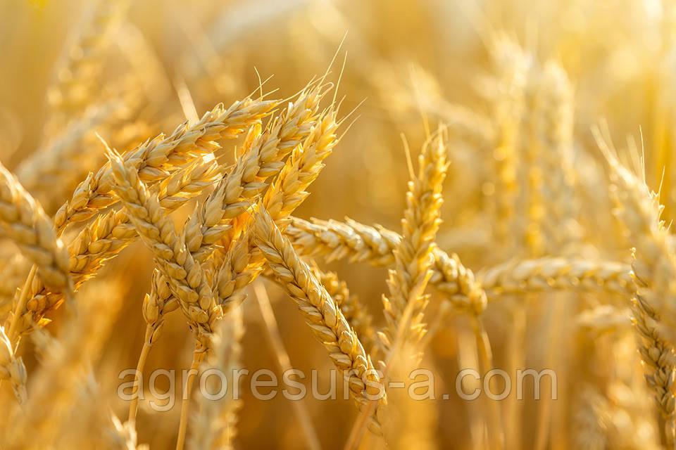 Пшеница озимая Благодарка Одесская (елита)