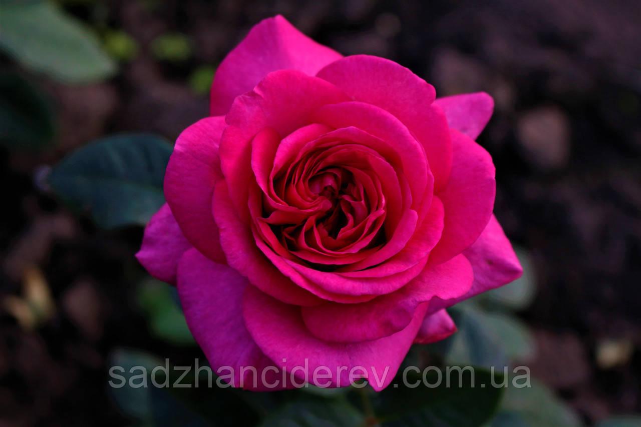 Саджанці троянд  Jorianda (Джоріанда, Джорианда Yuliandra, Юліандра, Юлиандра)