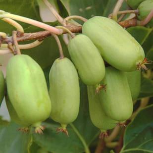 Саженцы актинидии (киви) аргута Джамбо (Jumbo) - женский сорт, крупноплодная, морозостойкая