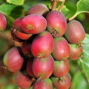 Саженцы актинидии (киви) Ананасная (Ananasnaya) - женский сорт, морозостойкая, урожайная