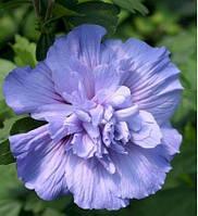 Гибискус Blue Chiffon (саженцы)