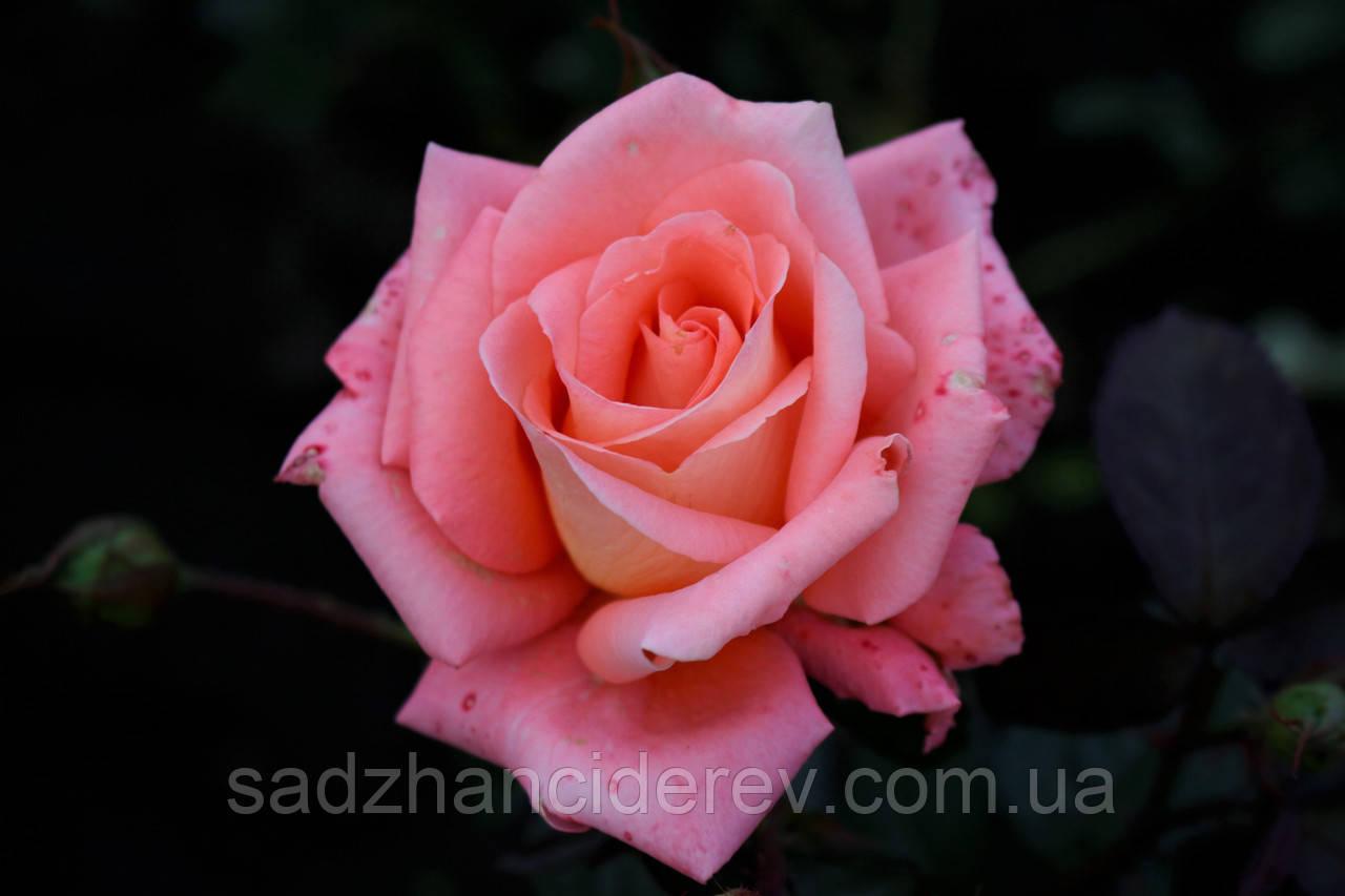 Саджанці троянд  Нобіліс (Nobilis, Нобилис)