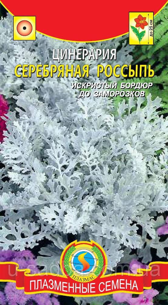 Семена цветов  Цинерария Серебряная россыпь 100 шт не цветущие (Плазменные семена)