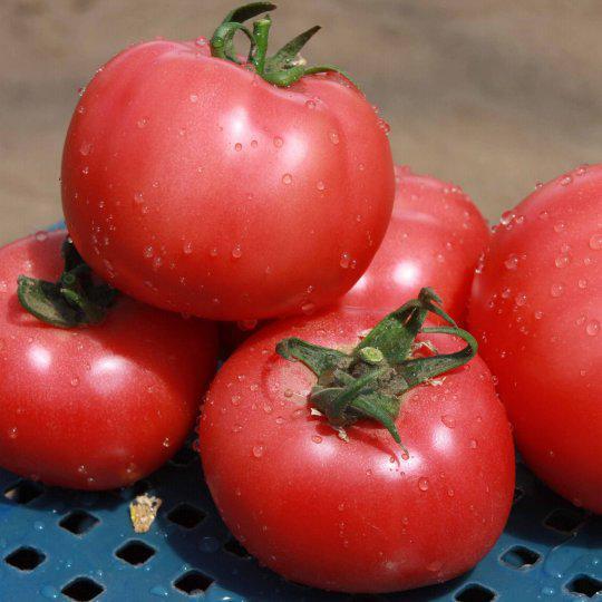 Семена томата Грифон F1 (500 сем.)