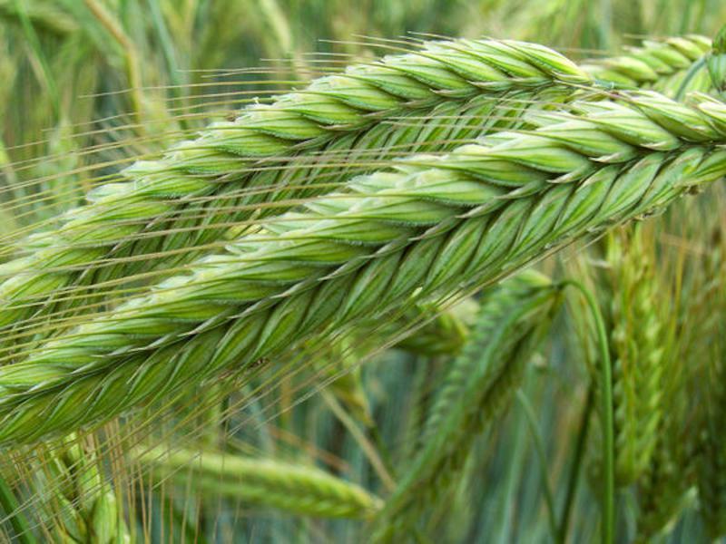 Семена ржи (жито) озимой гибрид Бразетто KWS