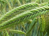 Семена ржи (жито) озимой гибрид Магнифико KWS