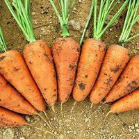 Семена моркови Шантане Ред Кор (1 кг)