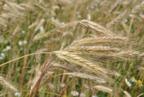 Семена ржи (жито) озимой Харьковская 98