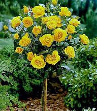 "Троянда ""Fresia"" (Привита на штамбі)"
