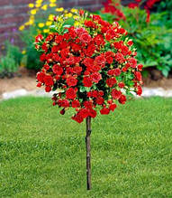 """Троянда """"Red Fairy"""" (Привита на штамбі)"""