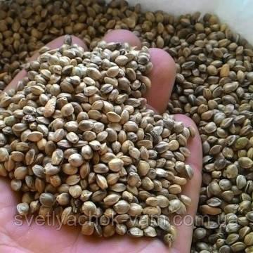 Семена конопли из китая отзывы марихуана и донорство